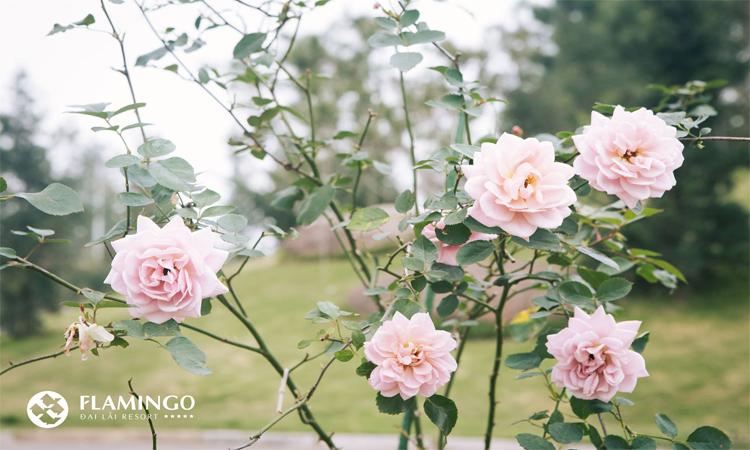 khu nghỉ dưỡng Flamingo Đại Lải hoa hồng