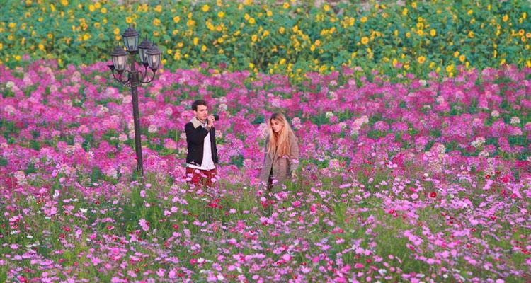 Thung lũng hoa Hồ Tây mùa hoa phong lư nở rộ