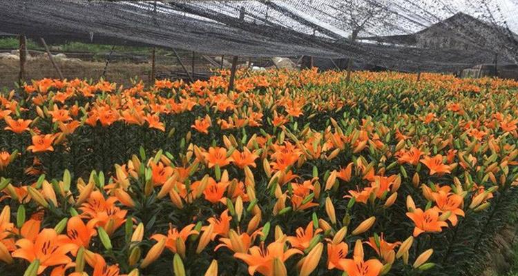 Hoa ly làng hoa Tây Tựu