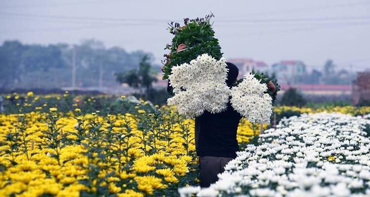 Hoa cúc nở ở làng hoa Tây Tựu