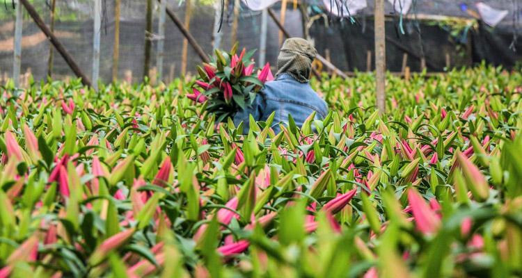 Hoa ly tết ở làng hoa Tây Tựu