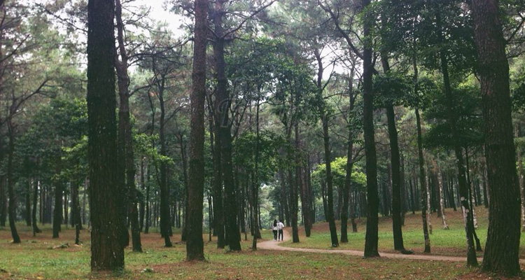 Vườn quốc gia Ba Vì rừng thông