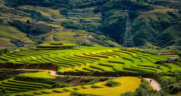 Y Tý - Mùa lúa chín vàng rực trên những thửa ruộng bậc thang ngút ngàn