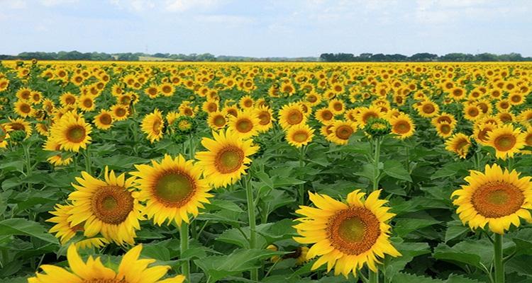 Đà Lạt Milk Farm - đồng hoa mặt trời