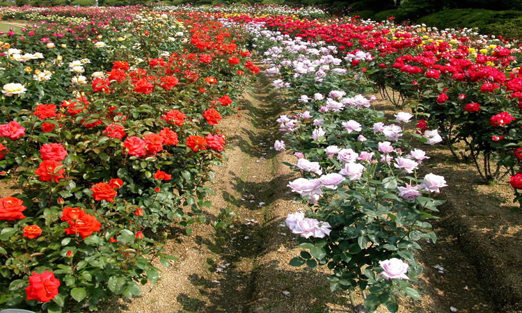Du lịch Sapa - hoa hồng