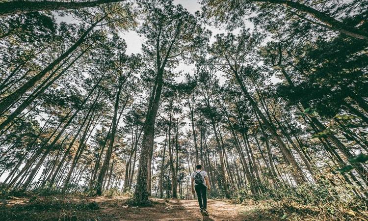 Rừng thông bản Áng - cây gỗ