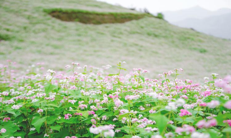 Si Ma Cai - mùa hoa nở