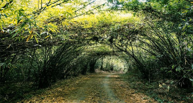 Vườn quốc gia Cát Tiên - vườn tre