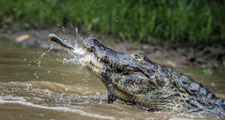Vườn quốc gia Cát Tiên - cá sấu săn mồi