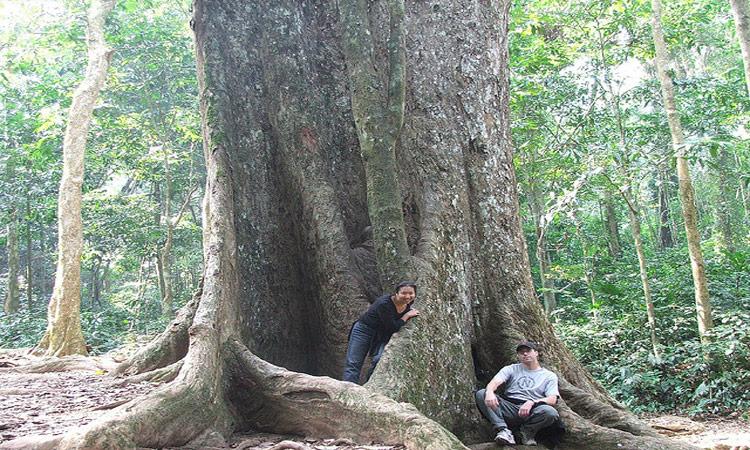 Vườn quốc gia Cúc Phương Ninh Bình - cây sấu