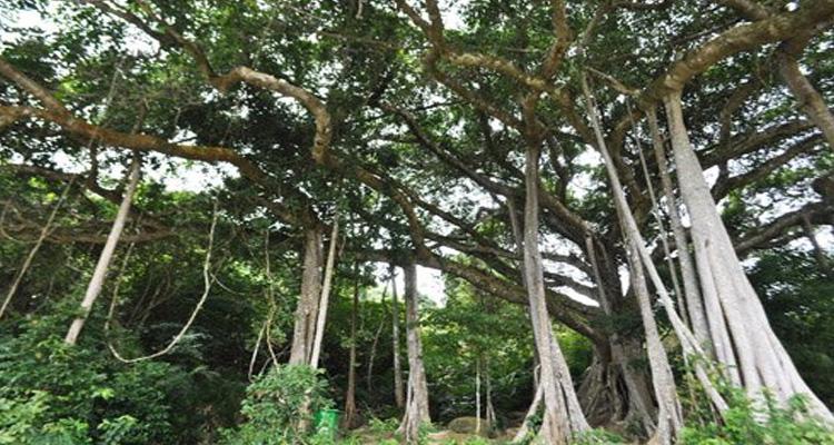 Chùa Linh Ứng Đà Nẵng - Cây Đa gần ngàn năm tuổi
