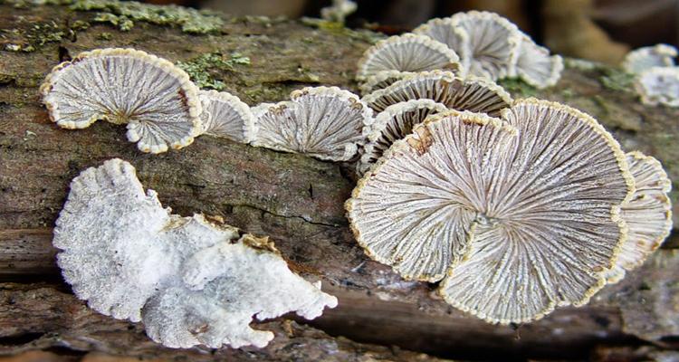 Đặc sản Lào Cai - nấm chân chim