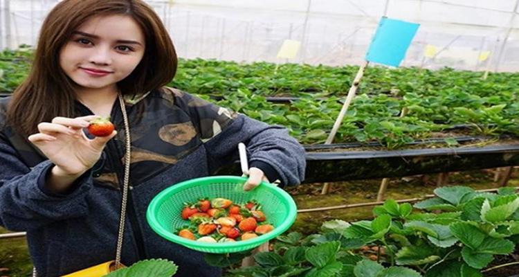 Vườn Dâu Tây Đà Lạt - Vườn dâu tây Biofresh Đà Lạt