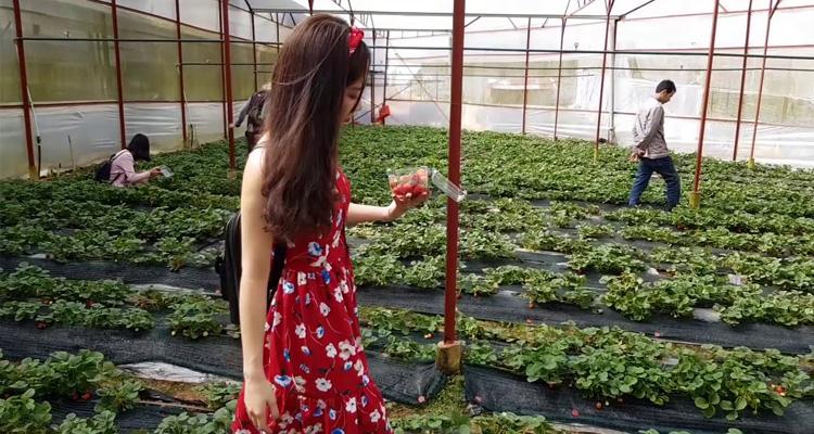 Vườn Dâu Tây Đà Lạt - vườn dâu tây chú hùng