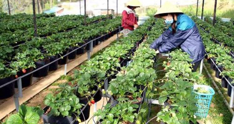 Vườn Dâu Tây Đà Lạt - Vườn dâu tây Nhật Cô Thảo
