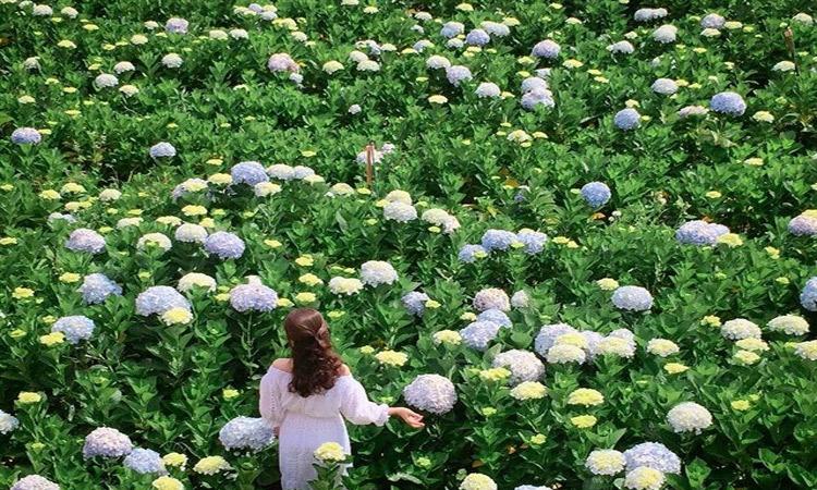 Vườn hoa cẩm tú cầu - đẹp