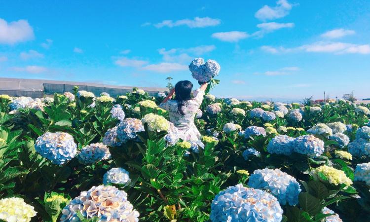 Vườn hoa cẩm tú cầu - ý nghĩa