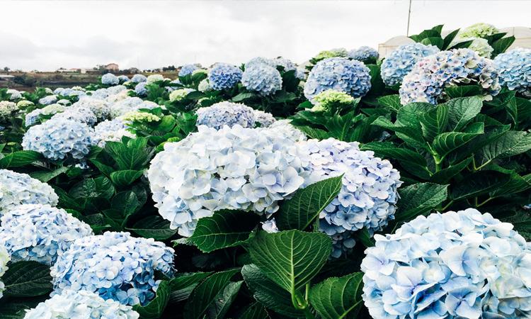 Vườn hoa cẩm tú cầu - đà lạt