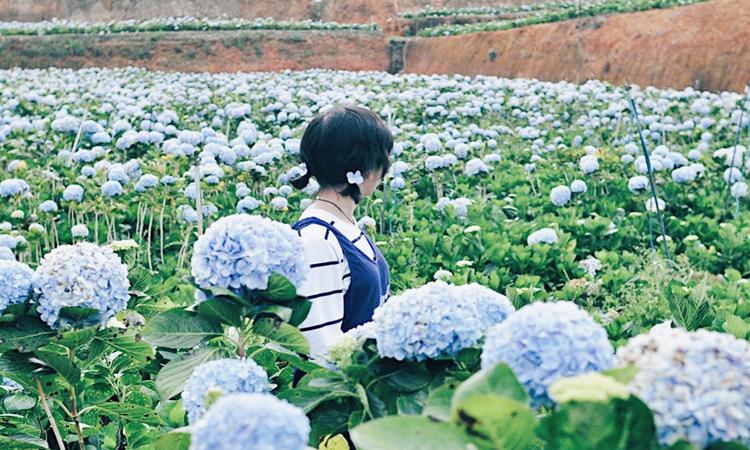 Vườn hoa cẩm tú cầu - làng đất sét