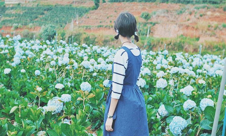 Vườn hoa cẩm tú cầu - nở rộ