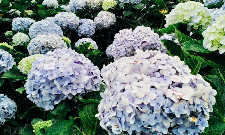 Vườn hoa cẩm tú cầu - lạc dương