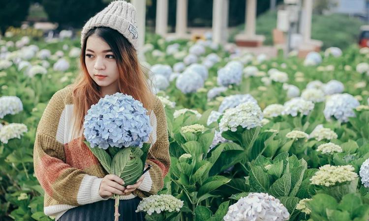 Vườn hoa cẩm tú cầu - hoa