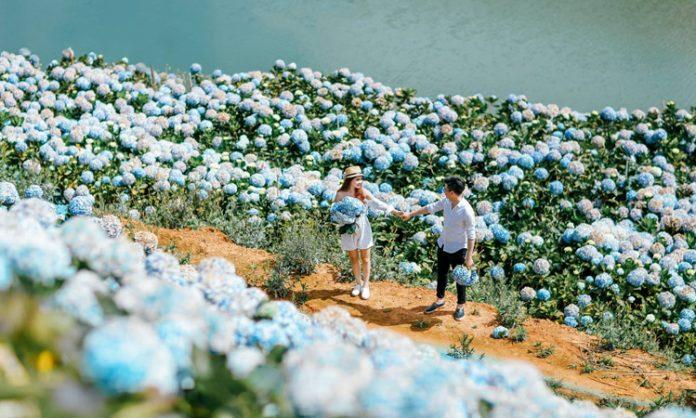 Vườn hoa cẩm tú cầu - ảnh cưới